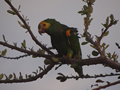 Geelvleugelamazone (Yellow-Shouldered Parakeet, <em>Amazona barbadensis</em>)