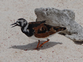 Steenloper (Ruddy Turnstone, <em>Arenaria interpres</em>)