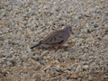 Musduif (Common Ground Dove, <em>Columbina passerina</em>)
