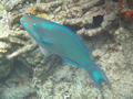 Onbekend (Queen Parrotfish, <em>Scarus vetula</em>)