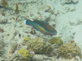 Onbekend (Princess Parrotfish, <em>Scarus taeniopterus</em>)