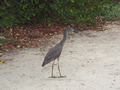 Geelkruinkwak (Yellow-Crowned Night-Heron, <em>Nyctinassa violaceus</em>)
