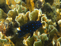 Onbekend (Yellowtail Damselfish, <em>Microspathodon chrysurus</em>)