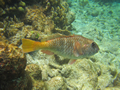 Onbekend (Redfin Parrotfish, <em>Sparisoma rubripinne</em>)