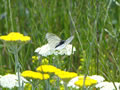 Groot Geaderd Witje (Black-Veined White, <i>Aporia crataegi</i>)